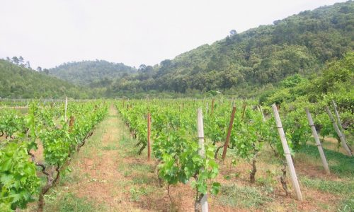 Agricultural Land Vineyard - Cara, Graboscica - vinograd korcula cara grabosica 500x300