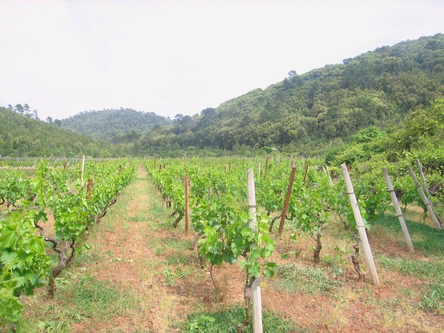 Poljoprivredno zemljište vinograd Čara - Grabošćica - vinograd korcula cara grabosica