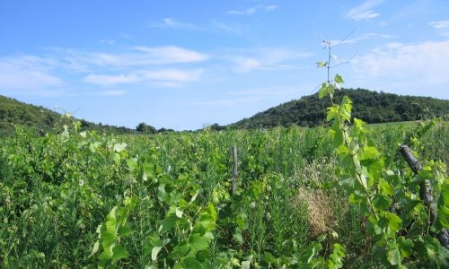 Poljoprivredno zemljište - vinograd Smokvica Prapatna - vinograd korcula smokvica prapatna 02 500x300
