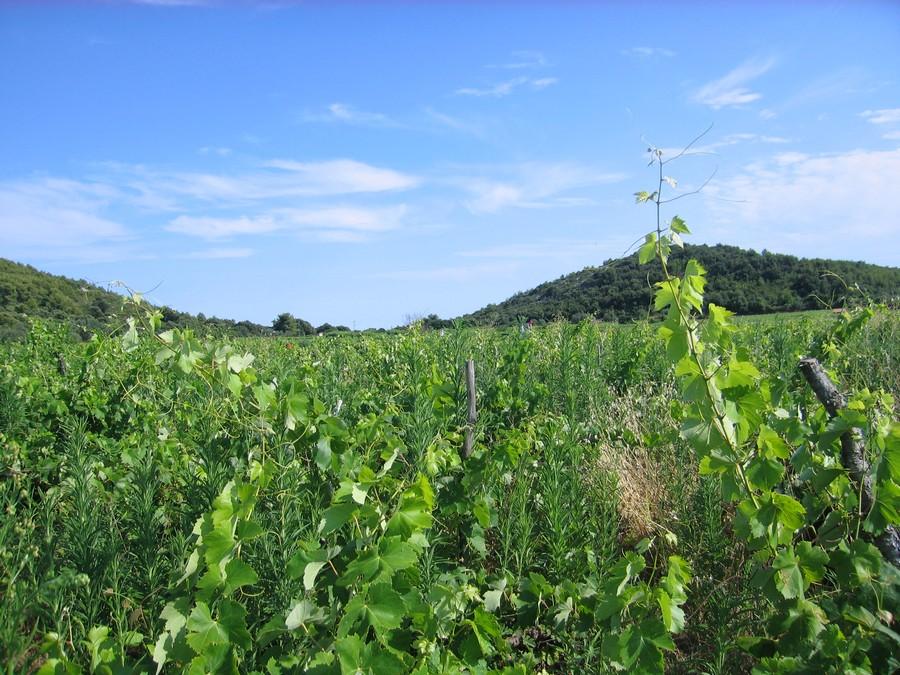 Poljoprivredno zemljište - vinograd Smokvica Prapatna - vinograd korcula smokvica prapatna 02